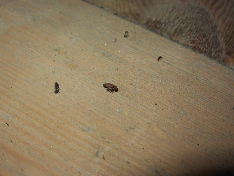 Woodworm Detection Alder Survey